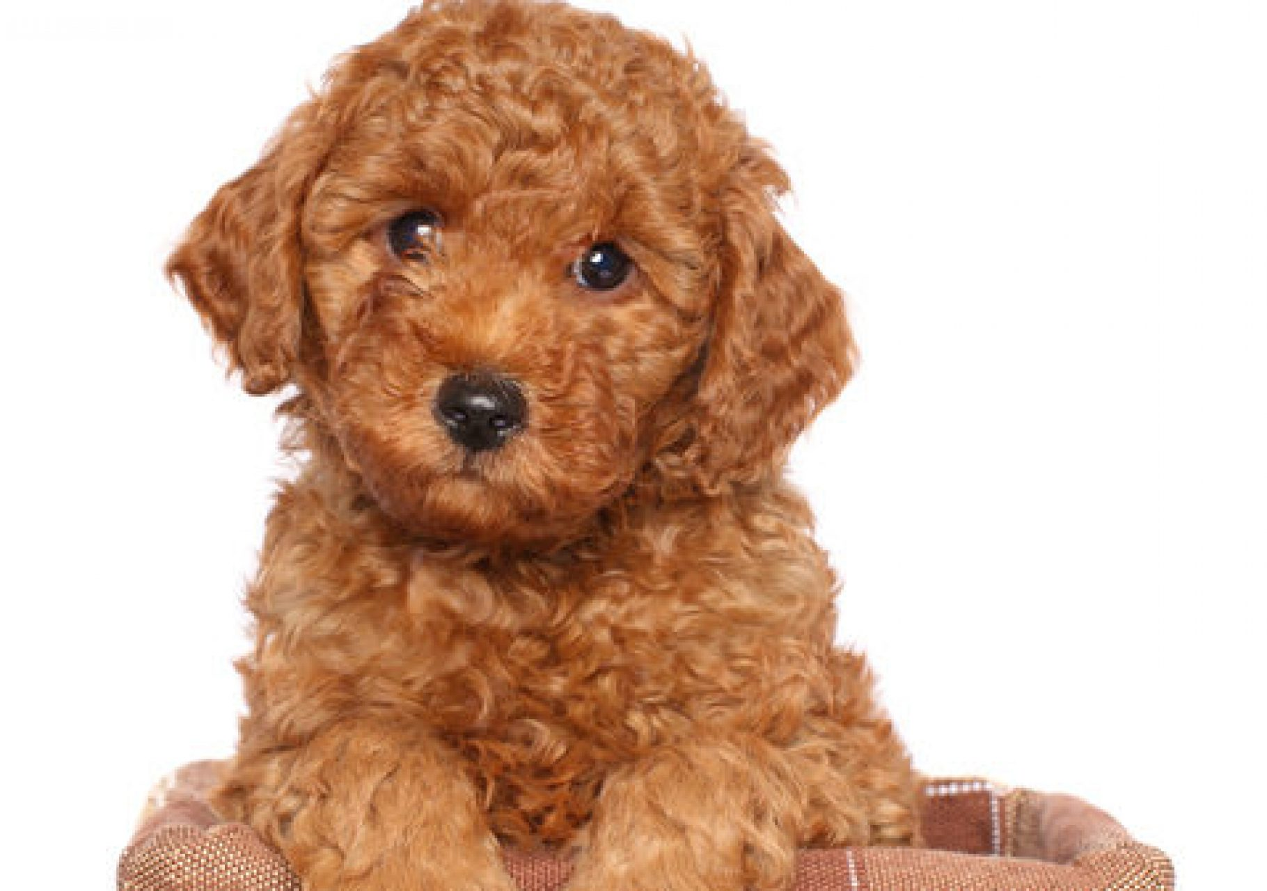 Red toy poodle puppy (two month) sits in wicker basket on a white background (Red toy poodle puppy